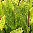 Plants - Striped Leaves