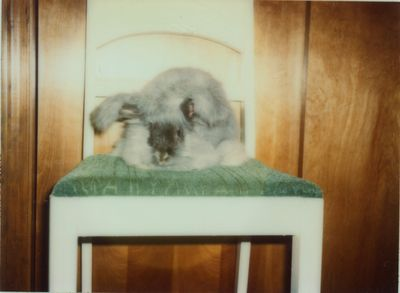 Angora Rabbit wb