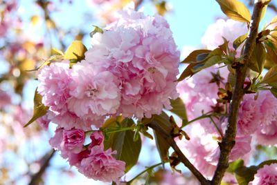 DSC_0459 blossoms