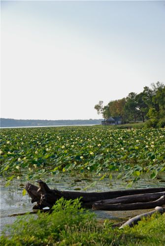 American Lotus on the Mississippi