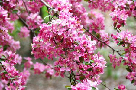St louis blossoms - tami potter