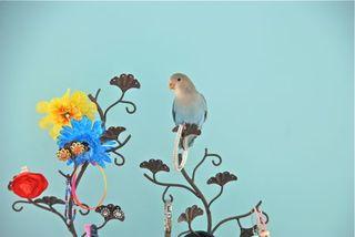 Paris the Lovebird