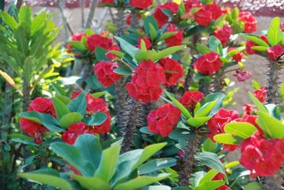 Red flowers with thorns