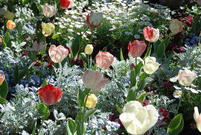 Tulips - Tami Potter