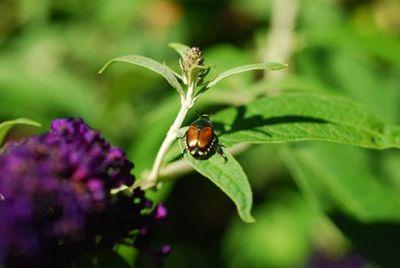 52-beetle