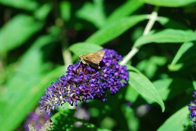 52-moth