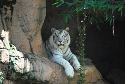 Audubon Zoo Tiger - tami potter