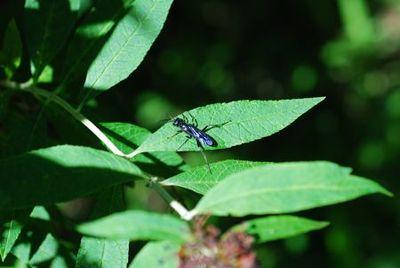 52-blue bug